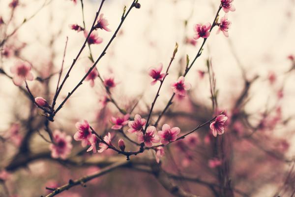cherry-blossom-floral-flower-flowers-Favim.com-1860324