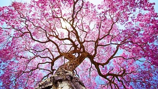 flowering trees.jpg.560x0_q80_crop-smart