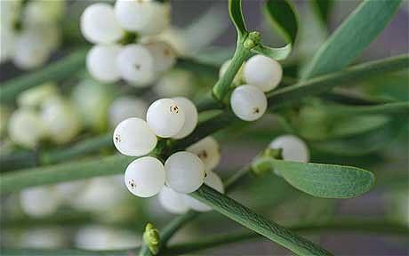 mistletoe-berries_1803742c